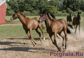 Игра Резвящиеся лошади